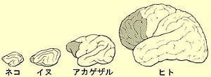 300px-Evolution_du_cortex_prefrontal_ja