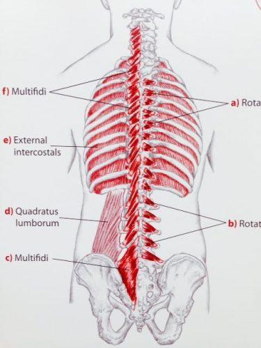3層目の筋肉 from Trail Guide to the Body