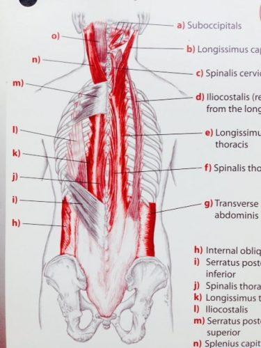 2層めの筋肉 from Trail Guide to the Body